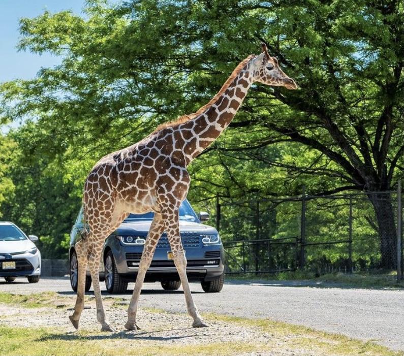 fun things to do in NJ, six flags great adventure, drive thru safari