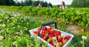 Strawberry Picking In NJ