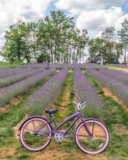 Lavender Farms in NJ