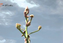 El quiote y sus flores, un regalo del maguey