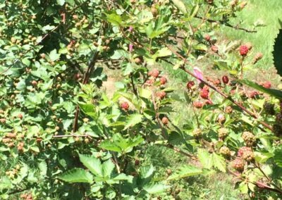 Wine from the vine--except this is my blackberry orchard.