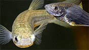 Gila Top Minnow, picture by Bruce Taubert/Arizona Department of Game and Fish