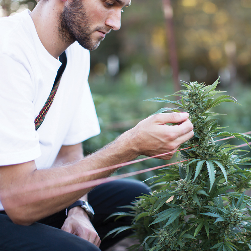 A man inspects a plant in flower at the farm, outdoors.
