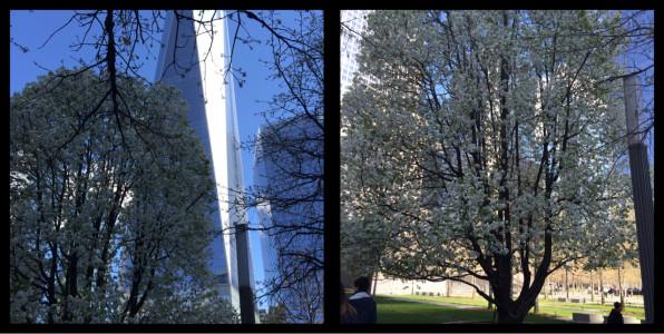 Survivor Tree 9/11 Memorial Manhattan New York City
