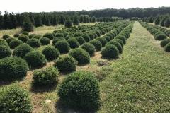 Green Velvet Boxwood Field Grown