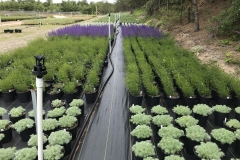 Perennial Production