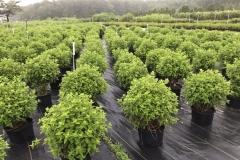 Hydrangea Production