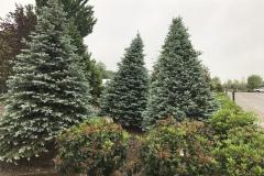 Landscape Sized Evergreens