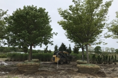 Large Caliper Trees Up to 8-inch Commonly Available