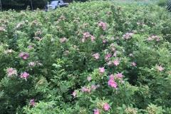 Native Rose Species Grown Here