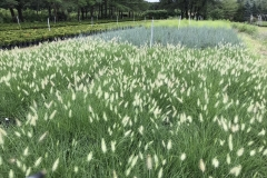 Ornamental Grass Production on Site