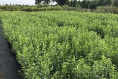 Baccharis: Groundsel Bush