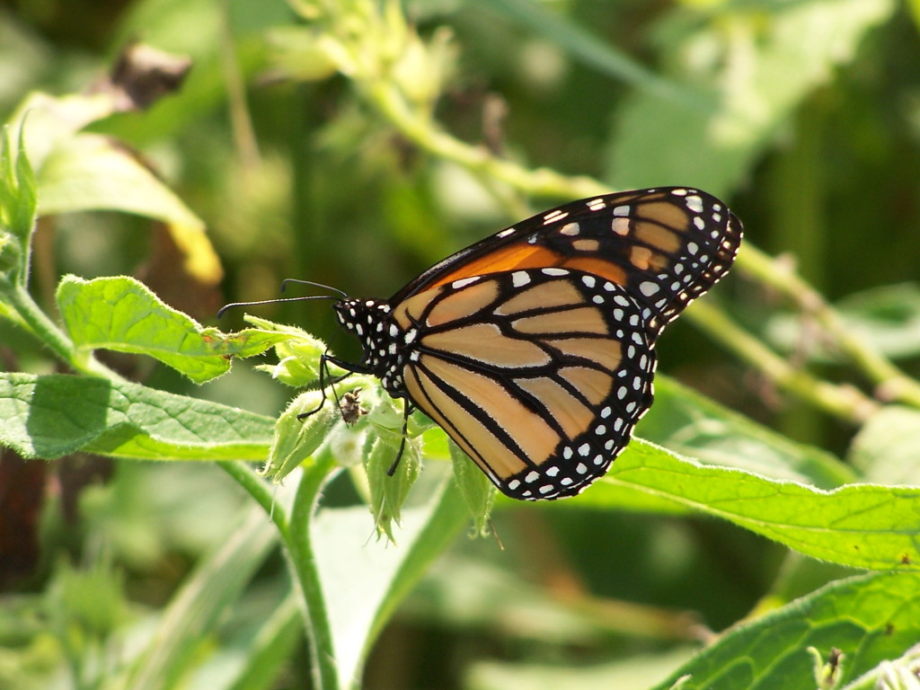 A monarch butterfly with raised wings perches on the green flowers of a plant