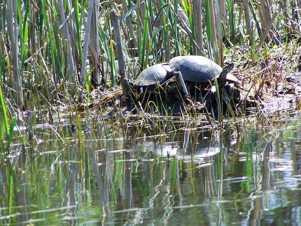 Two painted turtles bask on the shoreline along the Rideau River