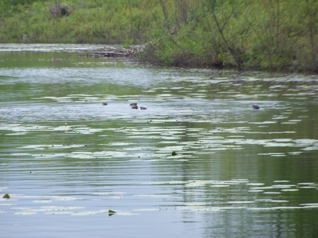 A family of otters looks back curiously from a beaver pond in the Kaladar Rock Barrens