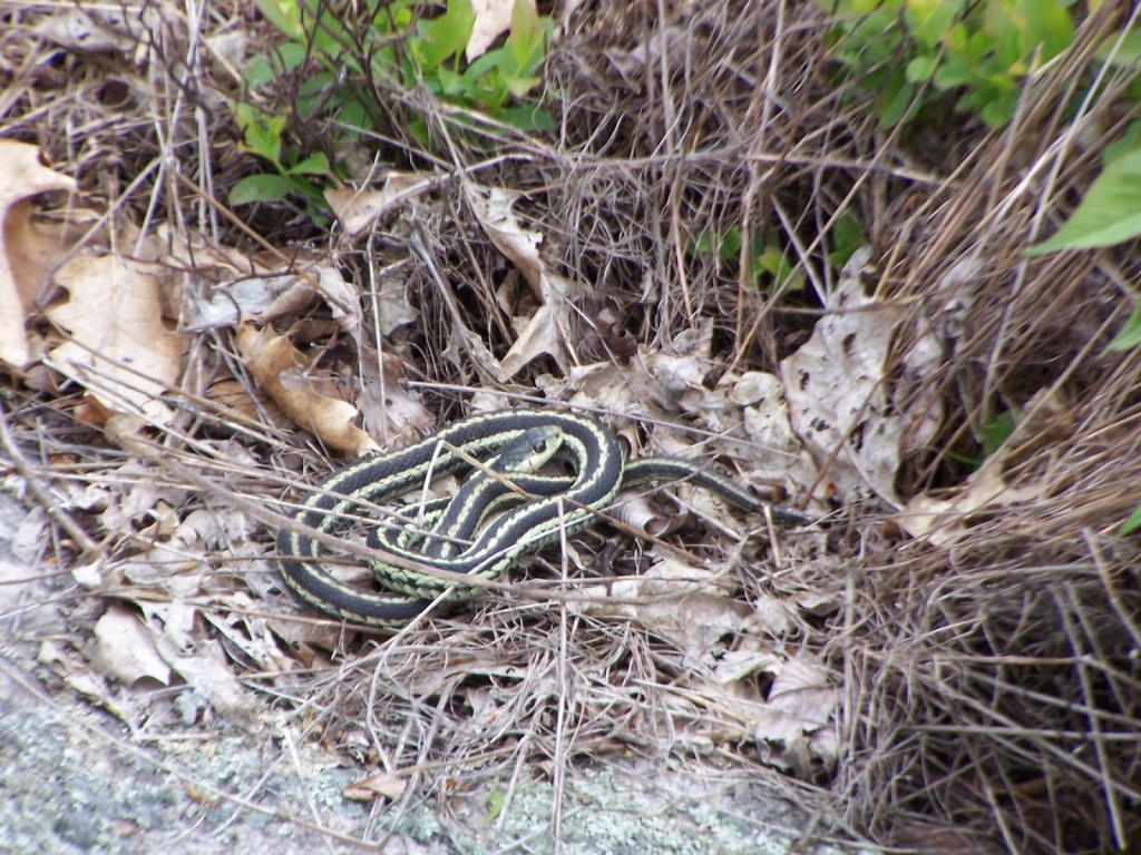 A garter snake curls up in dry leaves and grass in the Kaladar Rock Barrens