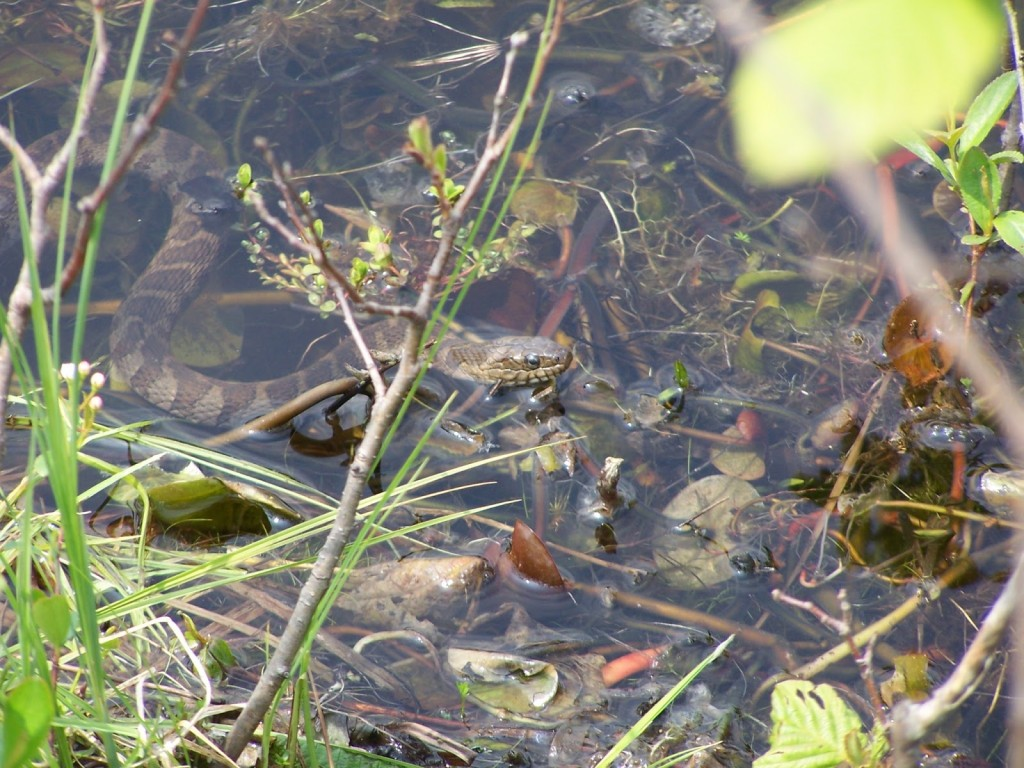 A northern water snake slithers in the shallows in the Kaladar Rock Barrens