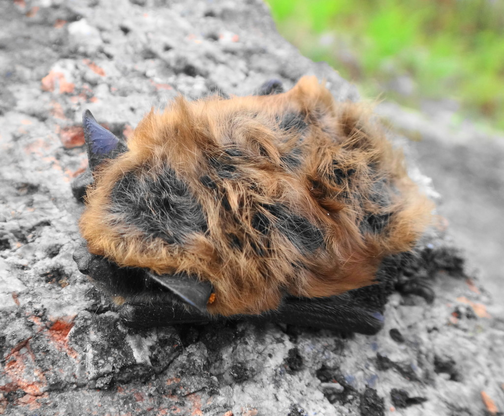 A big brown bat lies revealed on a stone in the Carp Hills