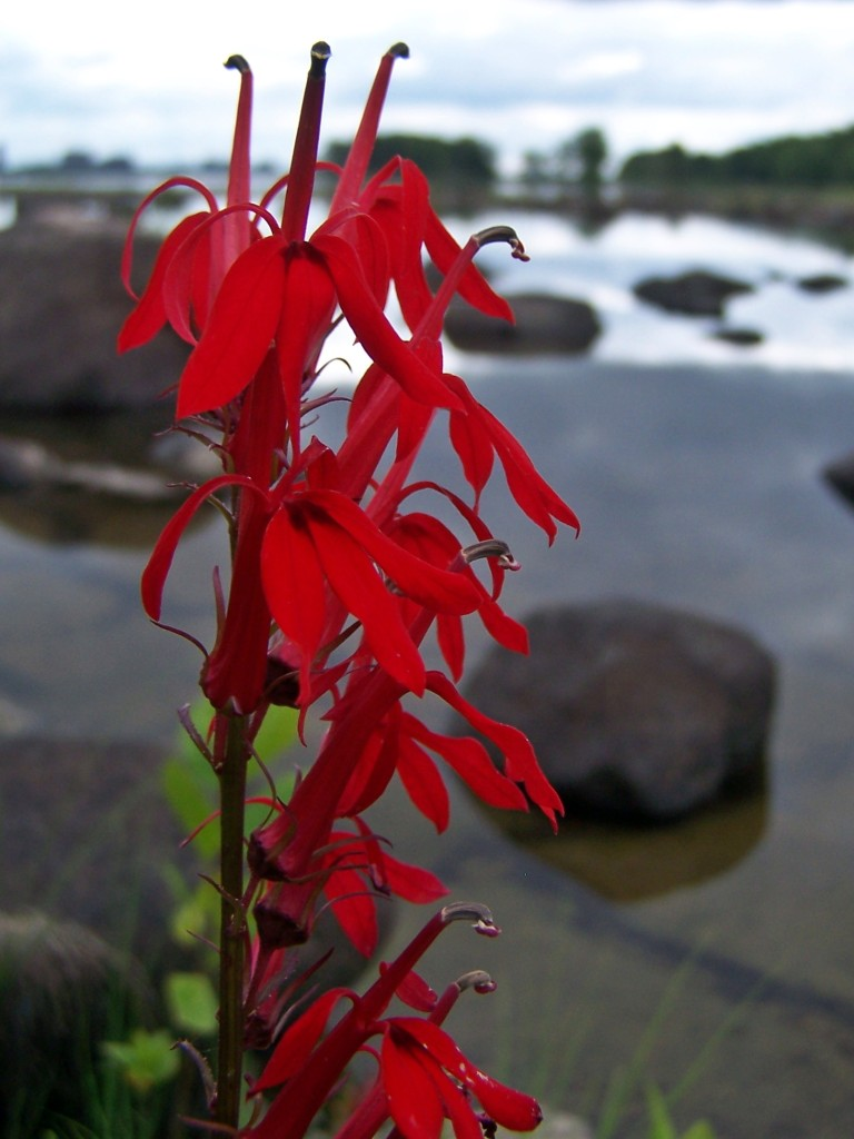 A close-up photograph of scarlet, Cardinal flower blossoms against an out of focus background of the Ottawa River and shoreline.