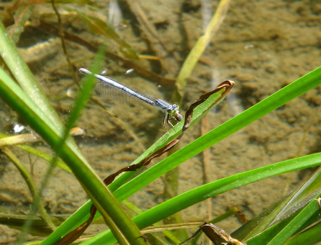 A species of blue damselfly called an Eastern Forktail clings to the blade of reed in shallow water.