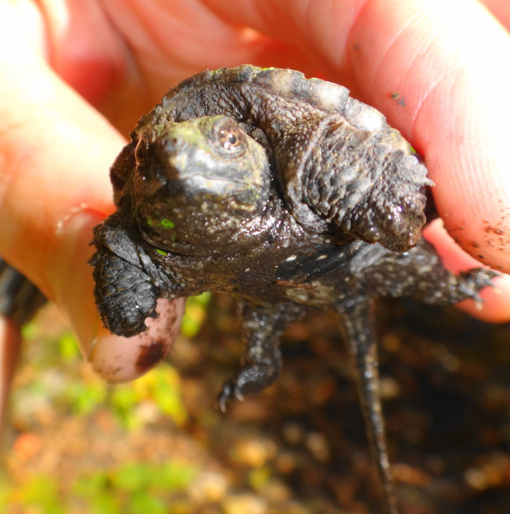 A hand holds a baby snapping turtle.