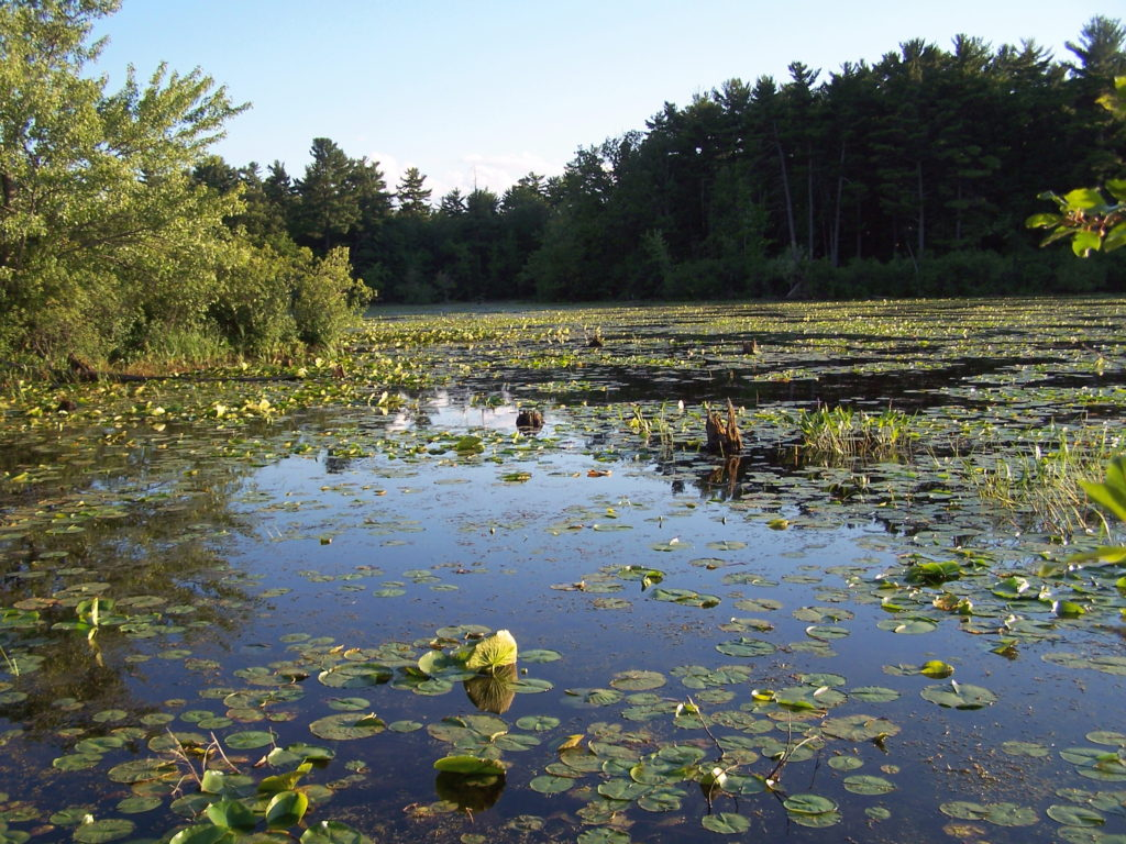 Peaceful Mud Lake lies under a blue, summer sky, with a yellow pond-lily in bloom in the foreground.