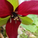A red trillium at Pink Lake.