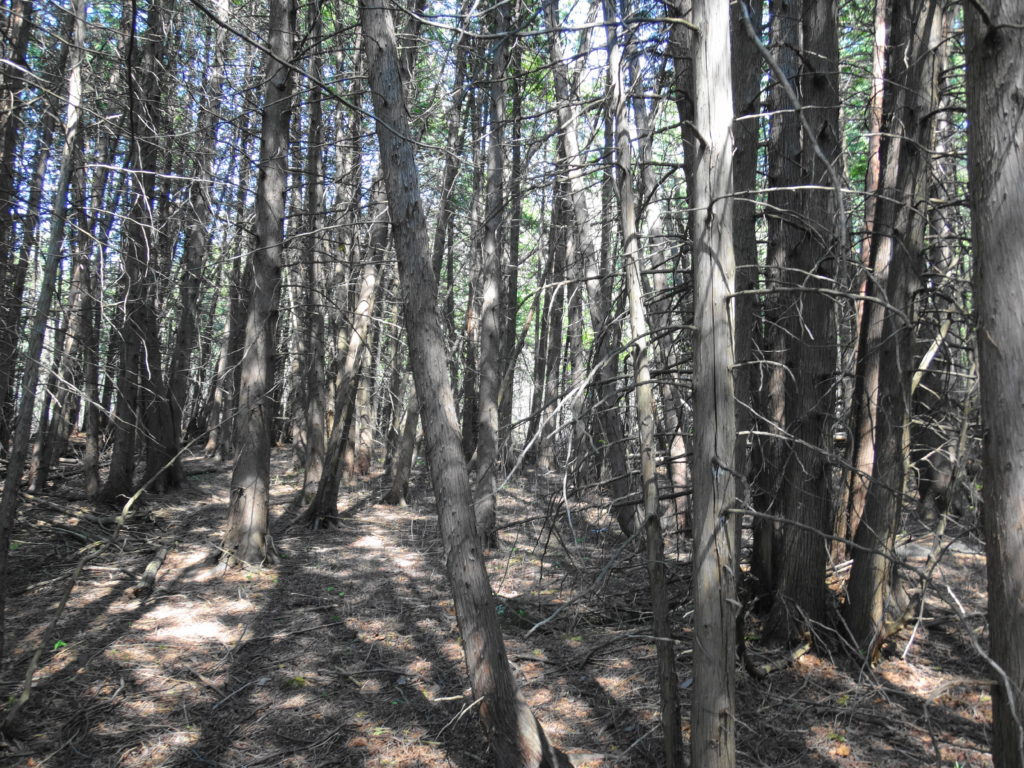 A dense stand of cedar trees shades a dry, almost bare forest floor.