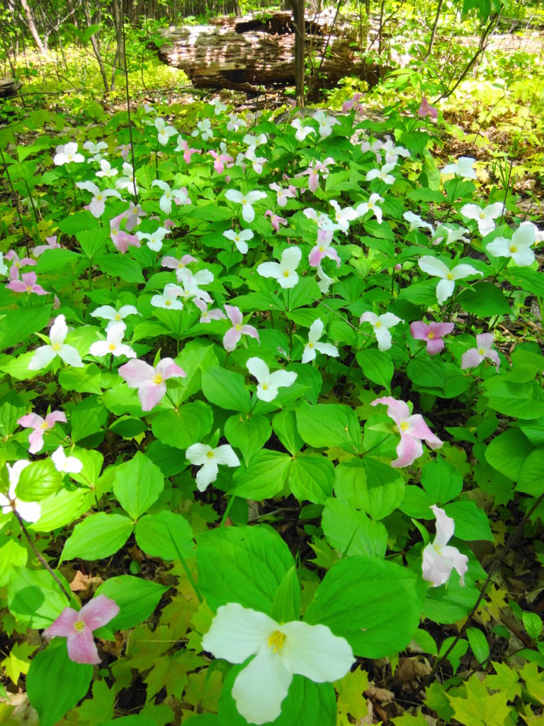 A blanket of white and painted trilliums bloom in Chapman Mills East