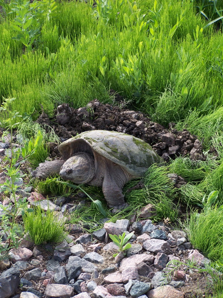 A snapping turtle lays her eggs on a railway embankment in the South March Highlands