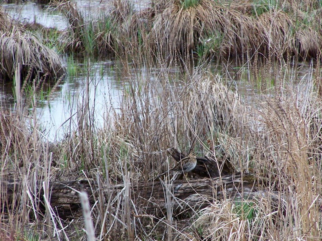 A common snipe stands on a log amidst reeds in the Upper Poole Creek Wetland