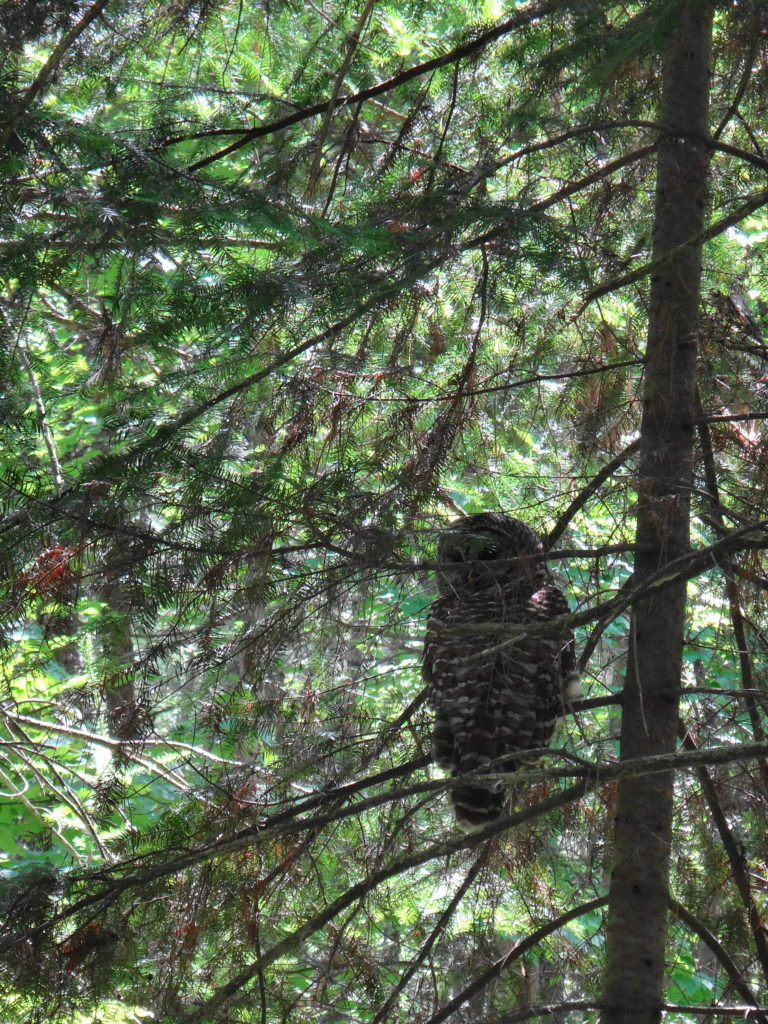 A barred owl sits in the lower branches of a fir tree in the Four Seasons Conservation Forest in Deep River