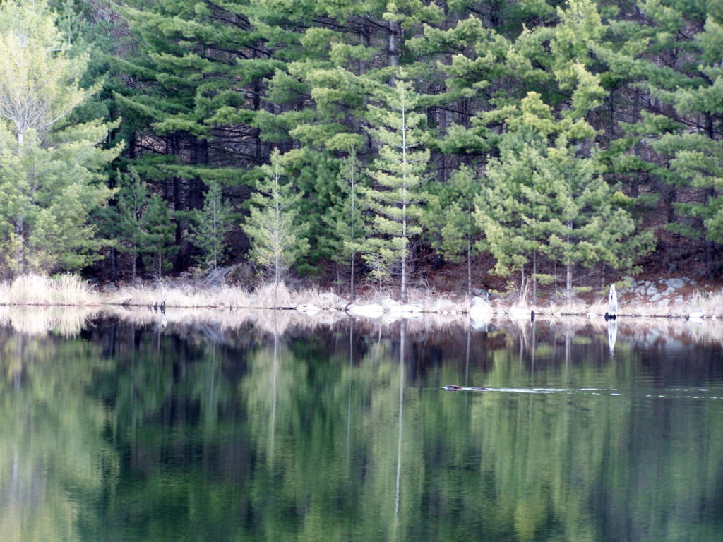 A beaver swims across a lake in Frontenac Park