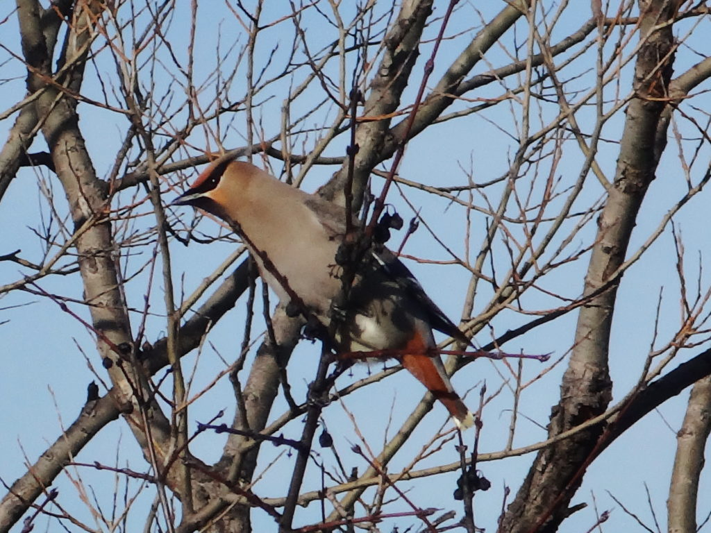A bohemian waxwing sits in the branches of a tree beside the Ottawa River