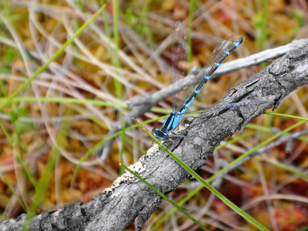 A female boreal bluet damselfly perches on a branch in fen in Deep River