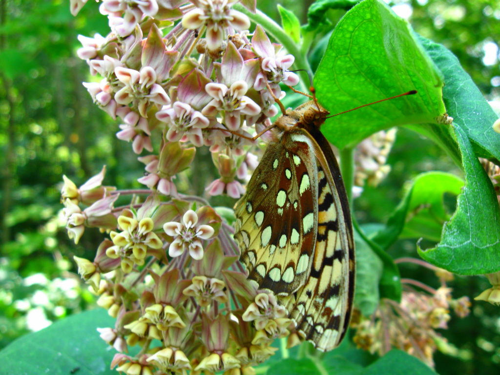 A butterfly feeds on milkweed in Deep River