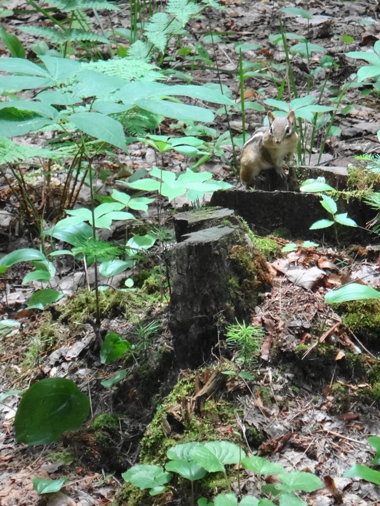 A chipmunk perches on a stump in Deep River