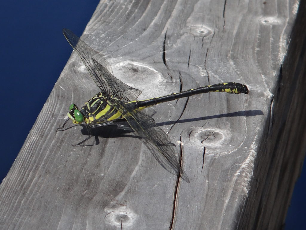 A large green and black dragonhunter sits on a board beside the Chalk River