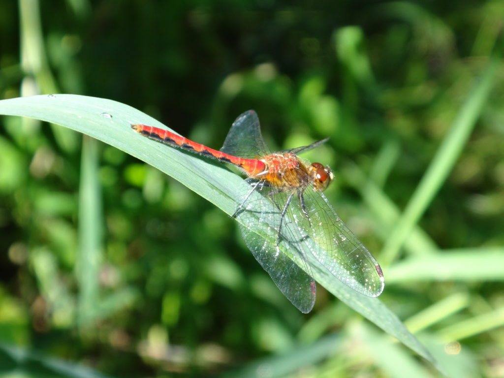 A red dragonfly rests on a leaf