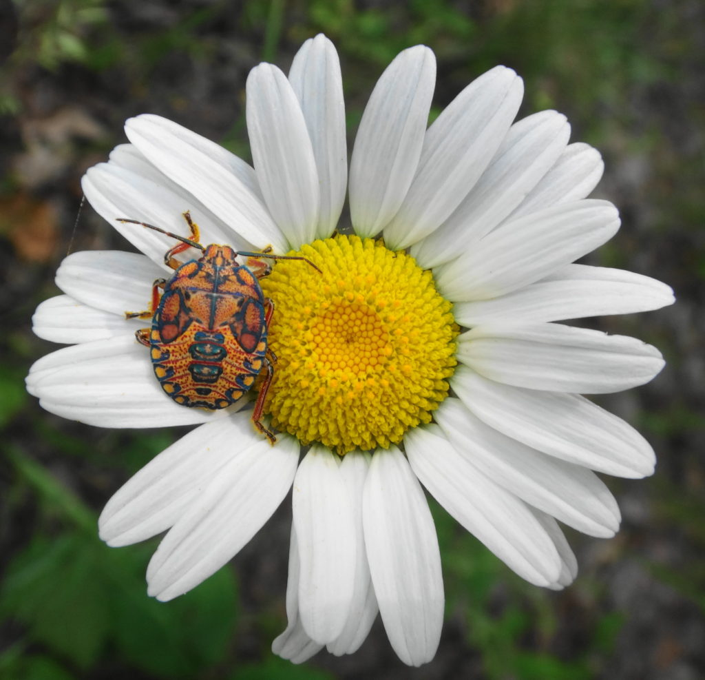 A orange and black stink bug sits on a daisy beside a road in Deep River