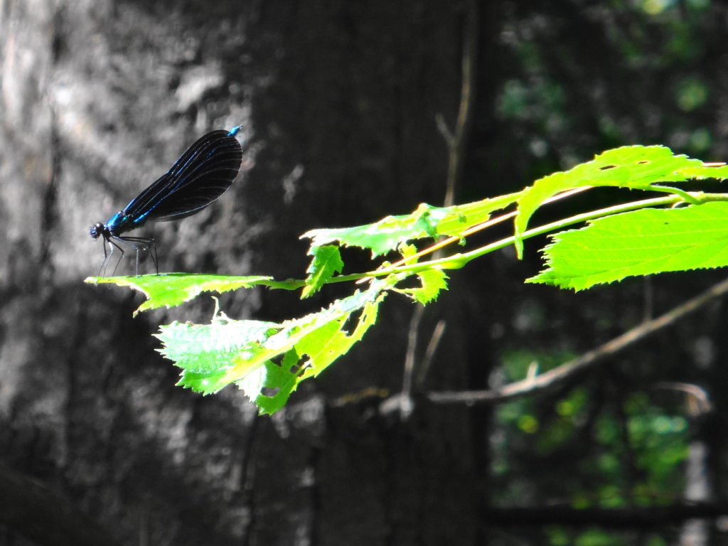 An ebony jewelwing rests on a sunlit leaf in Deep River