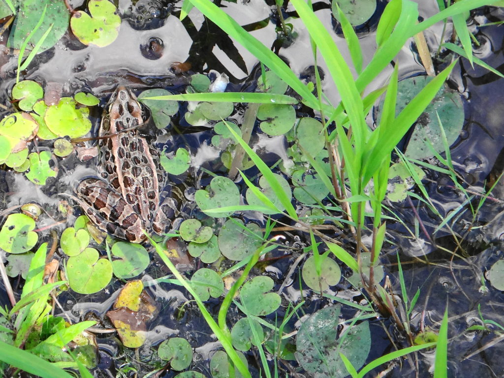A leopard frog sits in the shallows of pond