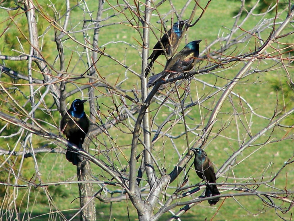 Four iridescent common grackles perch in a tree beside the Corkstown Bridge over the Rideau Canal