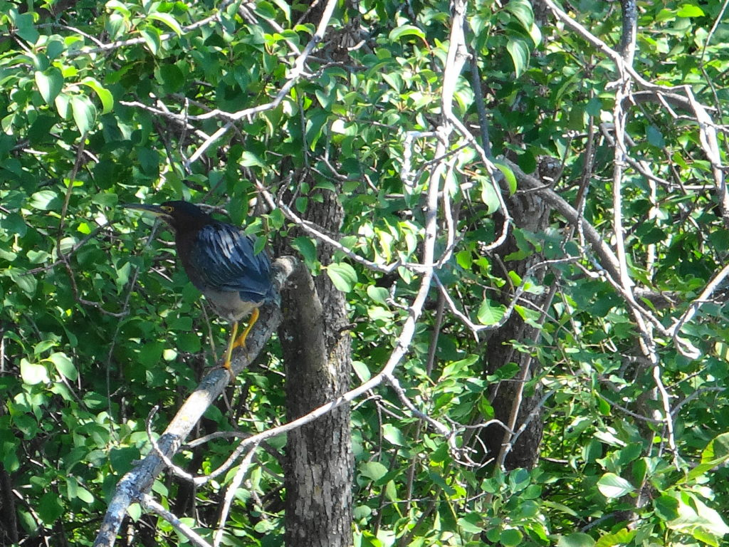 A green heron perches in a tree along the Rideau River