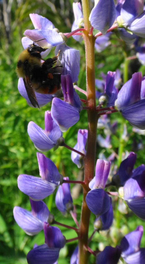 A bumblebee feeds on lupins in the Rockwood School Swamp, Pembroke