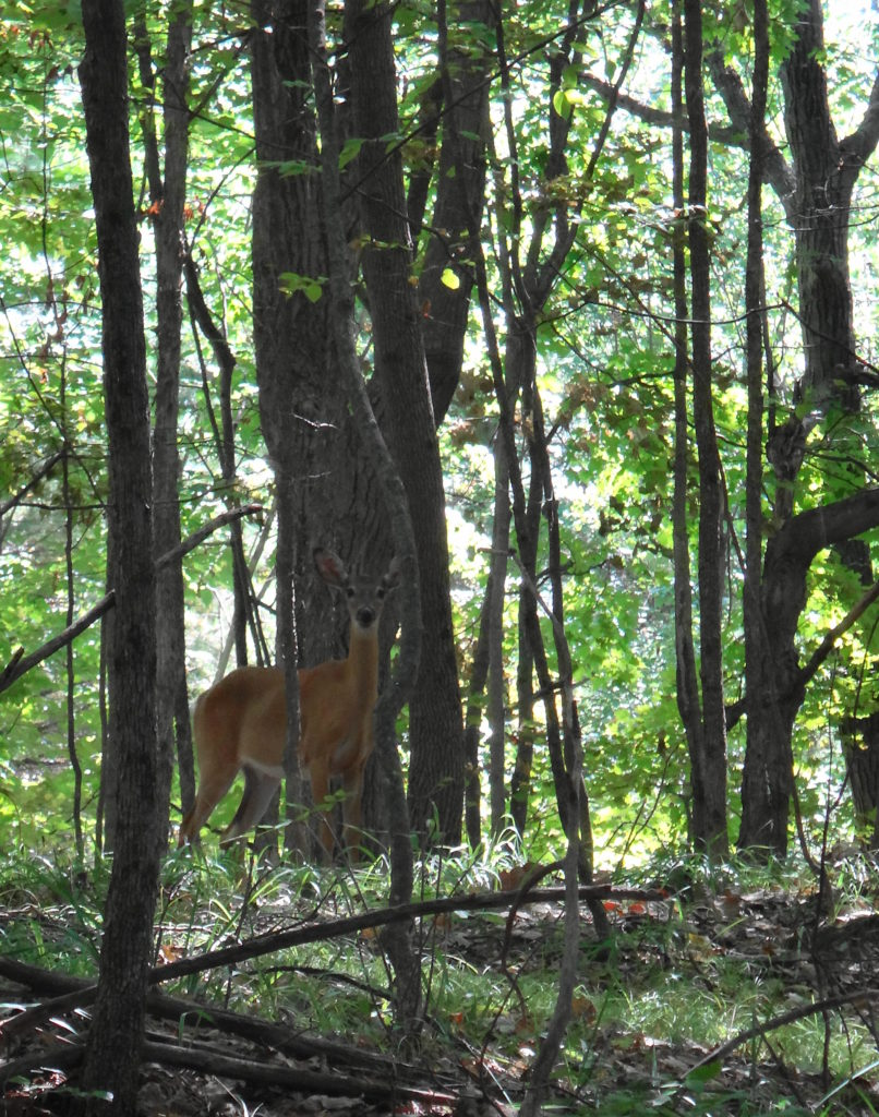 A whitetail deer doe stares toward the camera from a wooded slope in Frontenac Park