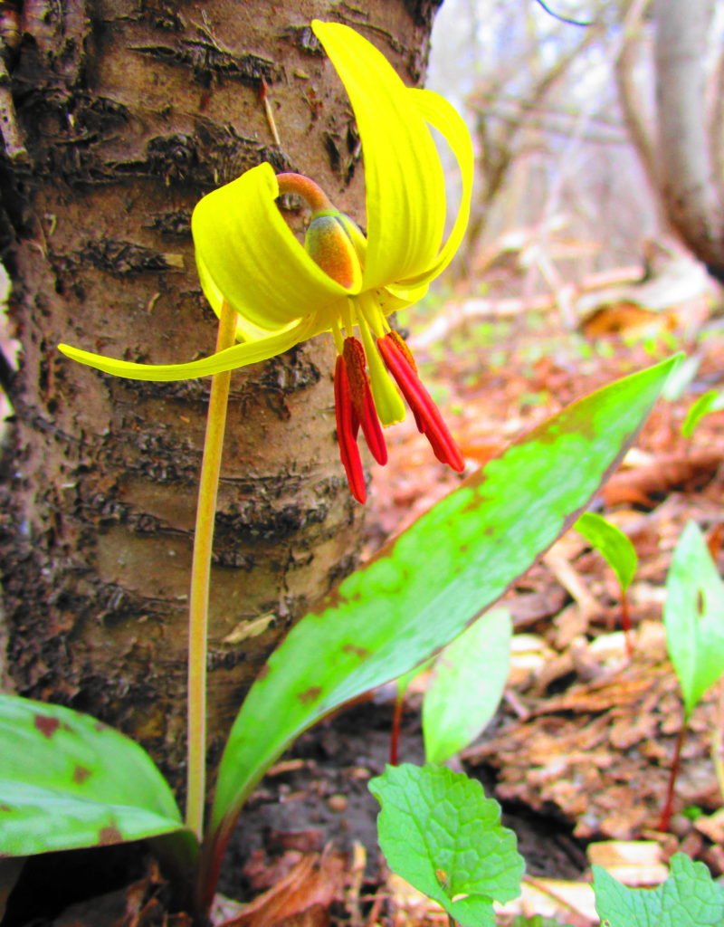 A brilliant yellow trout lily blooms on the forest floor.