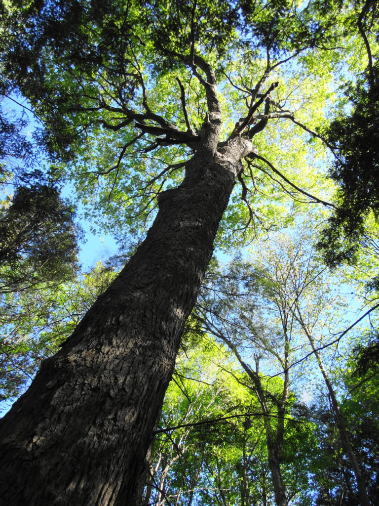 A mature maple tree towers into the canopy of the Manotick Drumlin Forest.