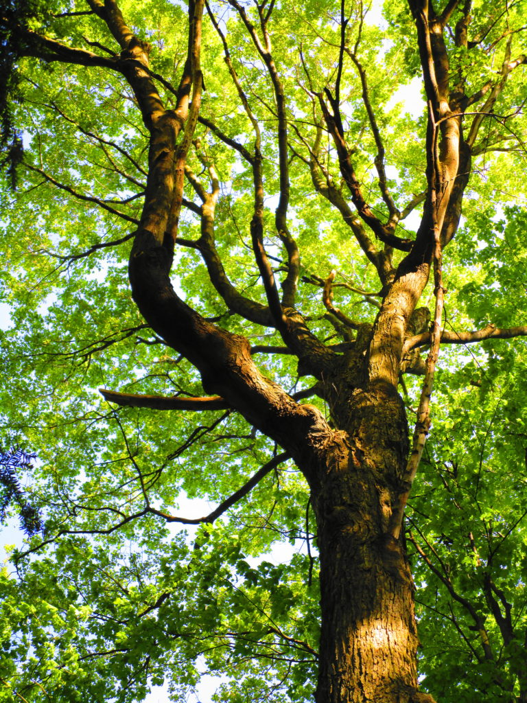 Sunlight catches the spreading canopy of a mature, forest maple tree.