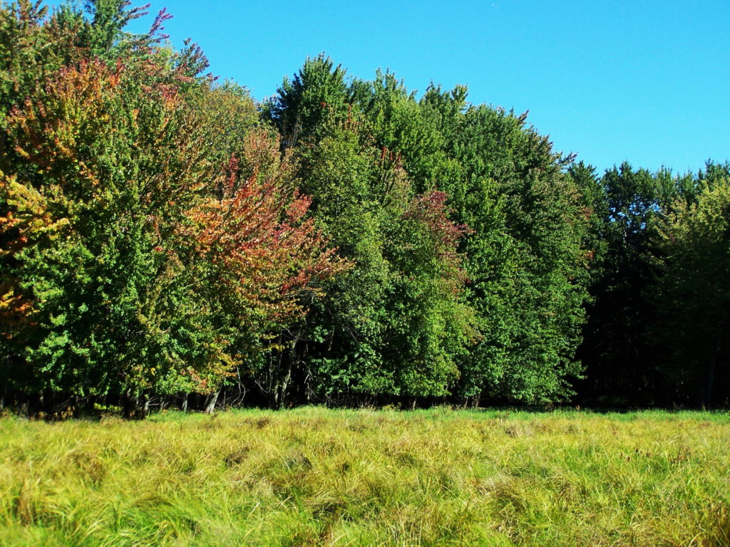 The autumn sun shines on an open marsh meadow and maple swamp.